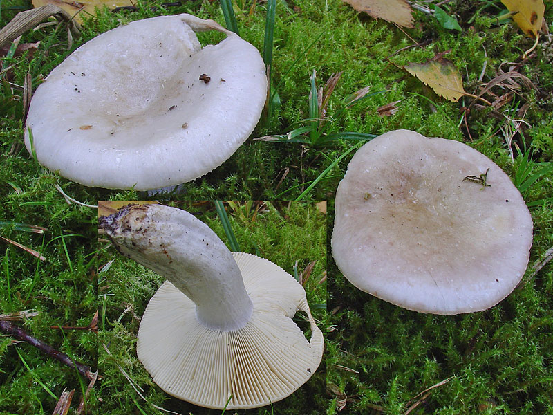 Russula exalbicans
